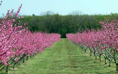 New Jersey Peach Industry Optimistic for 2021